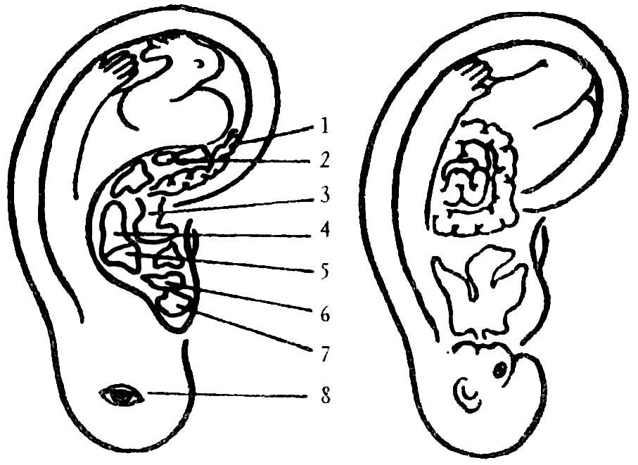 Проекция внутренних органов на ухе